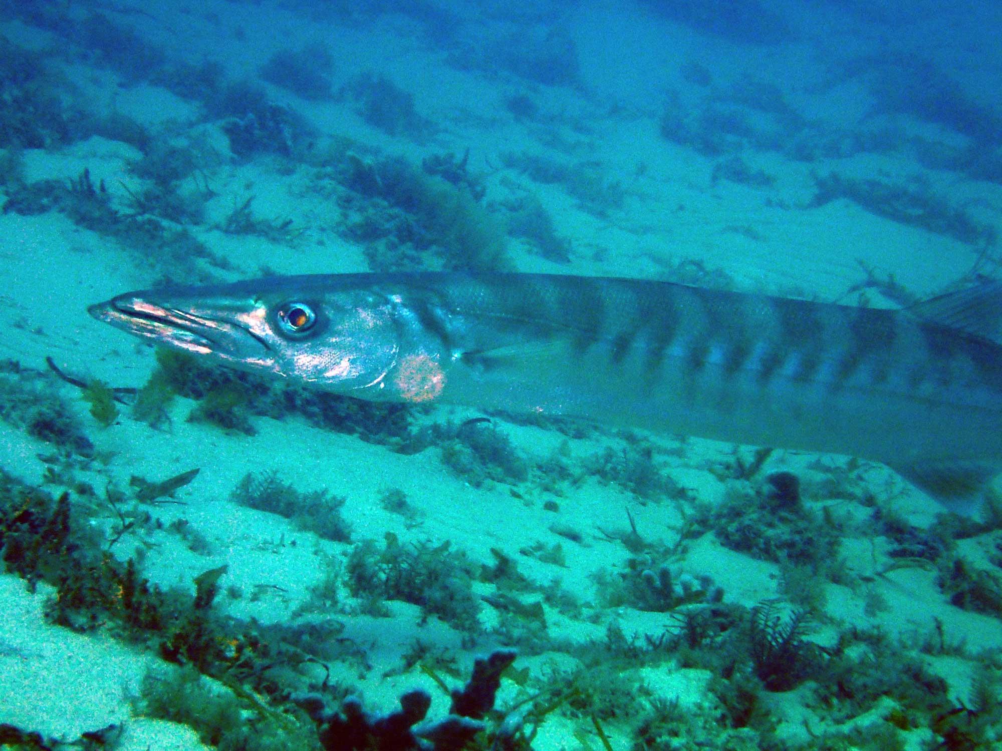 long thin fish underwater